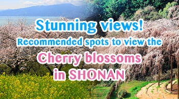 Stunning views! Recommended spots to view the cherry blossoms in SHONAN during Spring