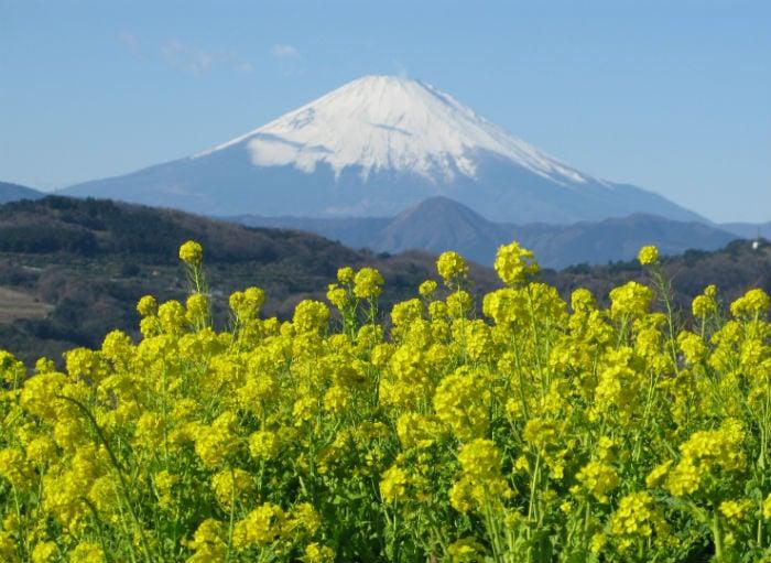 【湘南二宮】吾妻山 菜の花ウォッチング