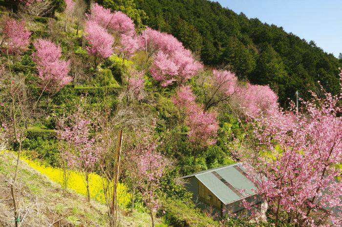 【小田原市】根府川おかめ桜まつり