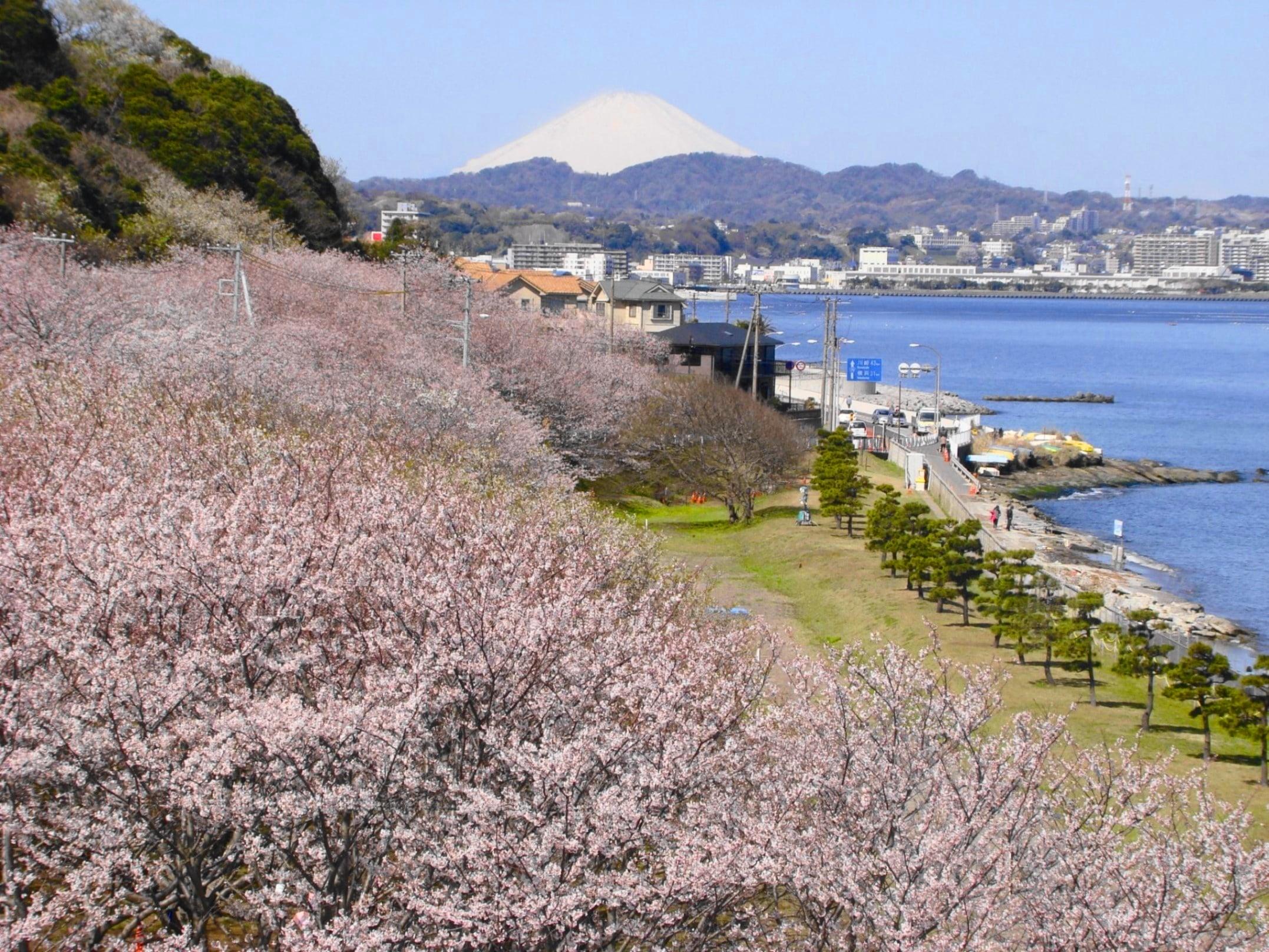 【横須賀】桜の散策 走水水源地