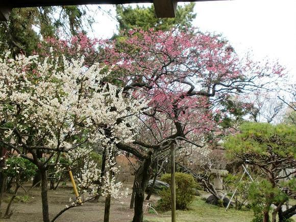 【茅ケ崎】松籟庵の庭園 梅まつり