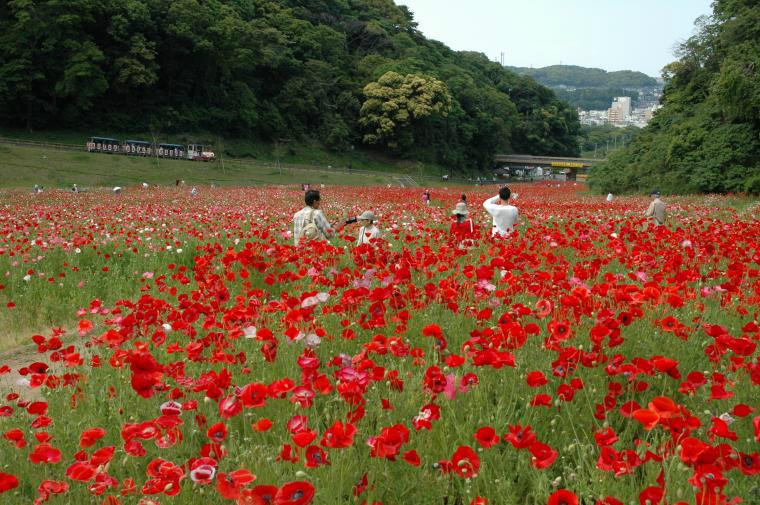 【横須賀市】2019年 くりはま花の国ポピーまつり