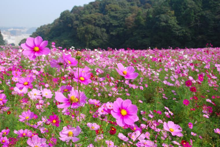 【横須賀市】くりはま花の国コスモスまつり