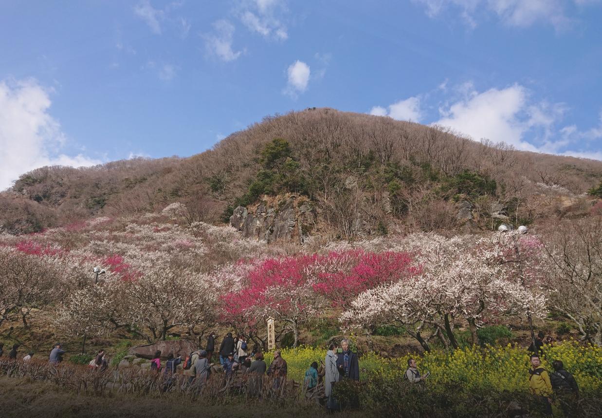 [Yugawara-machi] Yugawara plum forest